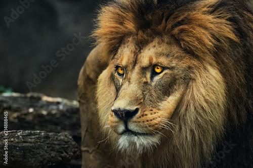 Portret lwa z profilu