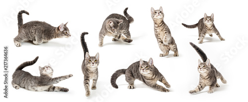Playful Cute Gray Kitten in Different Positions