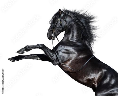 Chów koni andaluzyjskich. Pojedynczo na białym tle.