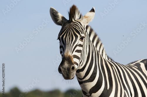 kufa zebry na tle nieba