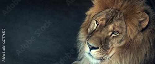 close-up of an African lion