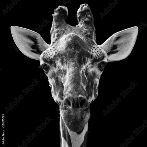Żyrafa siatkowa