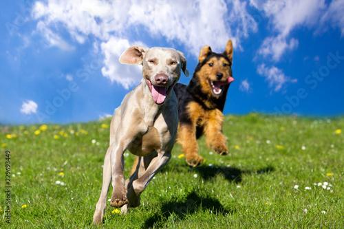 Dwa szczęśliwego psa biega w kierunku widza pod niebieskim niebem