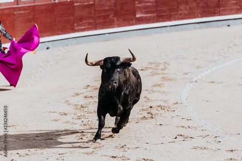 Walczący byk biega na arenie. Arena. Toro Bravo