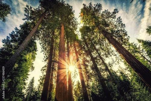 Wschód słońca na Sekwojach, Mariposa Grove, Park Narodowy Yosemite, Kalifornia