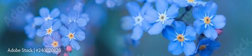 panorama wiosna tło niezapominajka kwiaty
