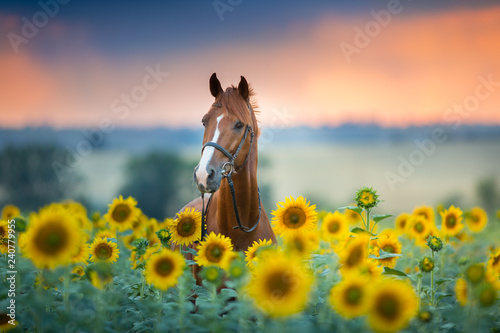 Red stallion in bridle portrait in sunflowers
