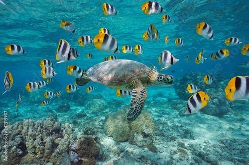 Żółw morski ze szkołą ryb Polinezji Francuskiej
