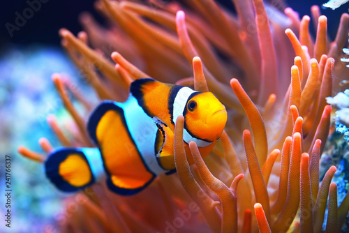 Amphiprion ocellaris clownfish in marine aquarium. Orange corals in the background. Colorful pattern, texture, wallpaper, panoramic underwater view. Concept art, graphic resources, macro photography