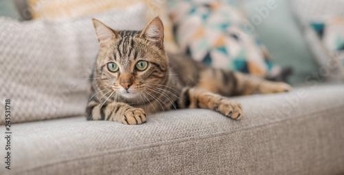 Piękny kot z krótkimi włosami, leżąc na kanapie w domu