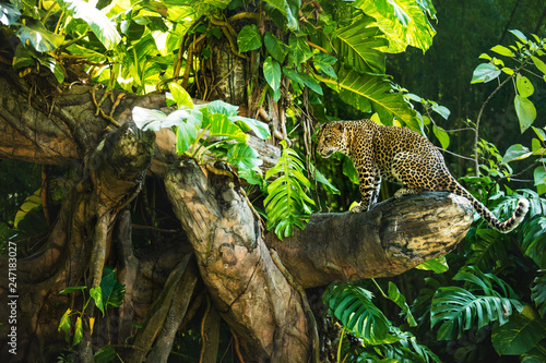 Leopard on a branch of a large tree in the wild habitat during the day about sunlight