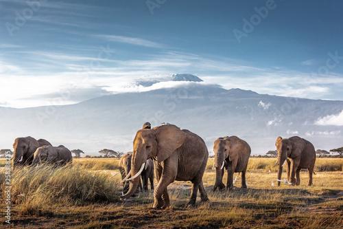 Herd of African Elephants in Front of Kilimanjaro