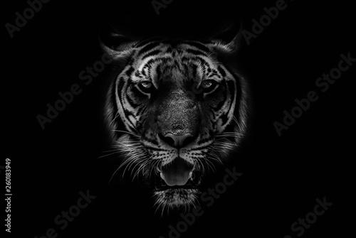 Black & White Beautiful tiger on black background