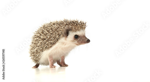 An adorable African white- bellied hedgehog standing on white background