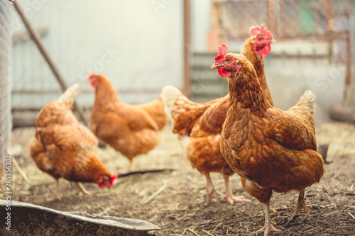 Red chicken walking in paddock Ordinary red rooster and chickens looking for grains while walking in paddock on farm