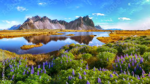 Piękny słoneczny dzień i łubin kwitniemy na przylądku Stokksnes w Iceland.