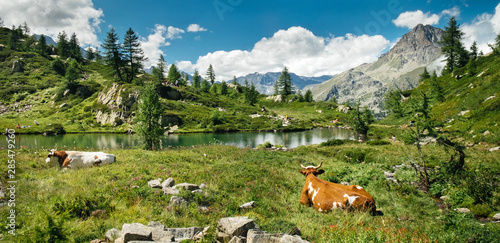 Mountain landscape with a lake and cows in a beautiful sunny day. Italian Alps plateau, Gran paradiso National Park, Bellagarda lake, Ceresole Reale, Piedmont, Italy