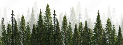 dark green straight trees forest on white