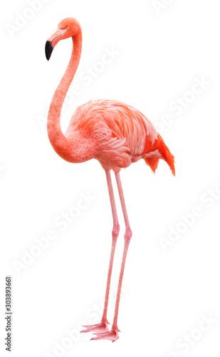 Bird flamingo on a white background