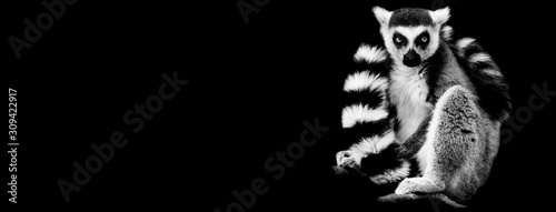 Lemur with a black background