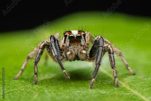 ่jumping spider closeup on green leave