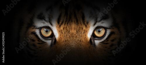 Tiger portrait on a black background