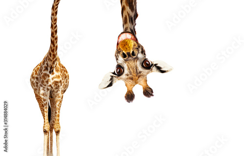 Fun cute upside down portrait of giraffe on white