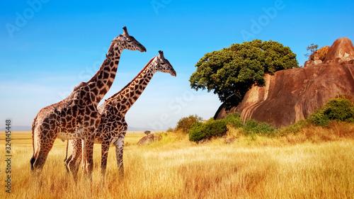 Giraffes in the African savannah. Serengeti National Park. Africa. Tanzania.