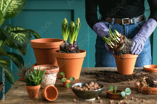 Woman gardener is transplanting beautiful plants, cacti, succulents to ceramic pots and taking care of home flowers on the retro wooden table for her concept of home garden.
