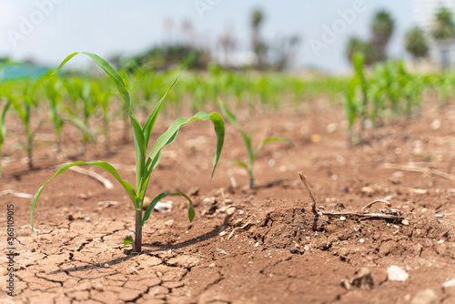 Corn crops suffer as drought continues. Corn field with very dry soil. Dry Corn field in the Turkey. Extreme drought in Adana. Agriculture
