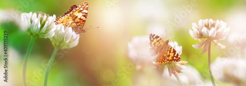 Bright orange butterflies on white clover flowers in sunlight. Spring summer banner.