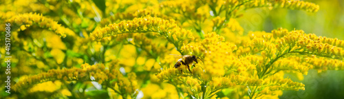 Banner with bee on bright yellow flowers of Goldenrod: the process of pollination. Selective focus. Copy space