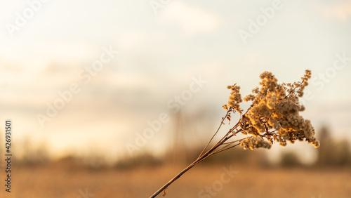 Sucha zeszłoroczna trawa