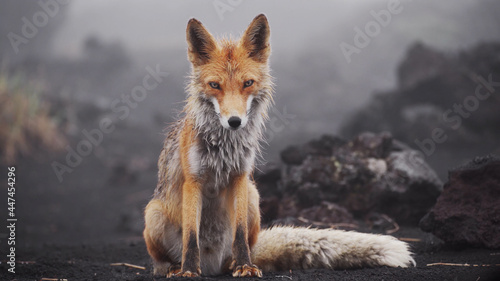 Funny red fox in Kamchatka. Wet fox in natural conditions. Beautiful orange coat animal nature. Wildlife Europe. Detail close-up portrait of nice fox.
