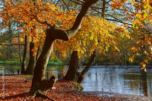 Drzewo nad rzeką w szacie żółtych, jesiennych liści.