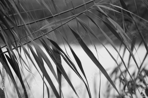 Schilfrohr, oder Schilf-Gras in einem Biotop, Phragmites australis