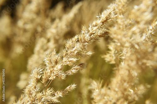 Sucha, złocista trawa