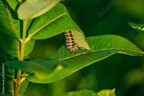 Monarch caterpillar on Milkweed leaf