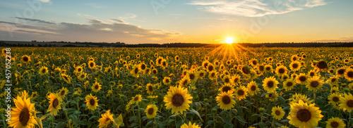 Beautiful sunset over sunflower field