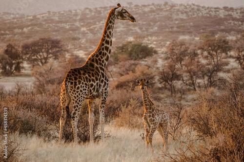View of a mother giraffe and her baby in their habitat on safari in the Okavanga, Delta, Botswana