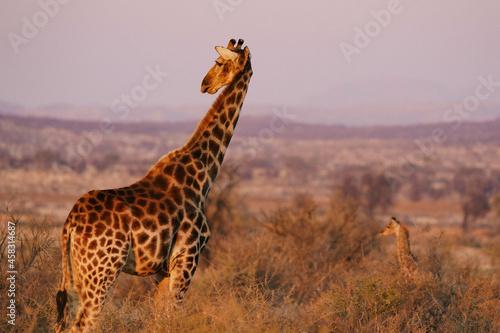 View of a beautiful giraffe in its habitat on safari in the Okavanga, Delta, Botswana