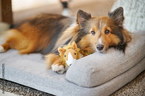 A Shetland Sheepdog Sheltie Resting Sleep On The Dog Bed And Looking Direct To You