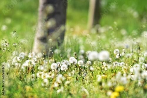 Romantyczna, rozświetlon, letnia łąka między drzewami z licznymi dmuchawcami