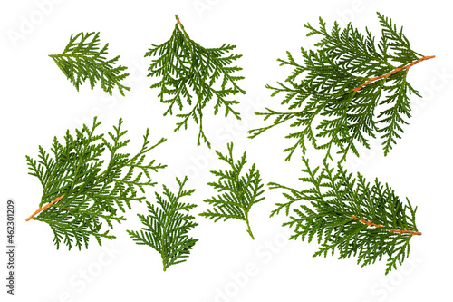 Twigs of green thuja isolated on white background